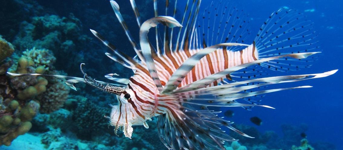 Resultado de imagem para peixe leao